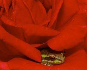 Frog in rose